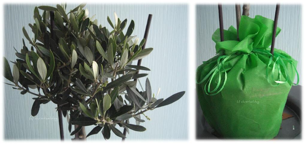 mein Olivenbäumchen von schenkeinbäumchen