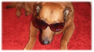 Meine Hündin trägt Sonnenbrille