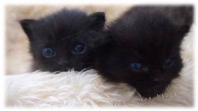 main coon kitty