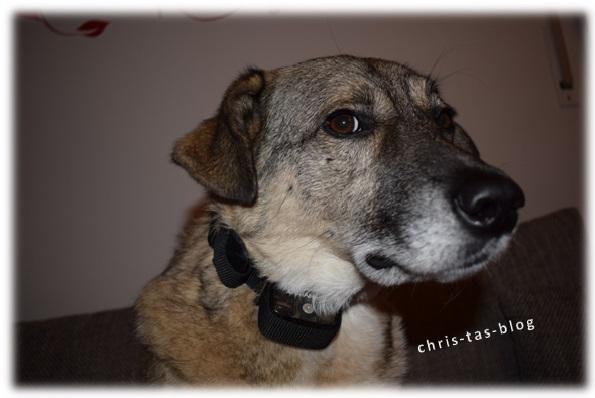 johnny-mit-hundeerziehungshalsband