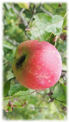 Unsere Äpfel am Baum