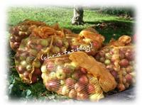 Apfelernte in unserem Garten
