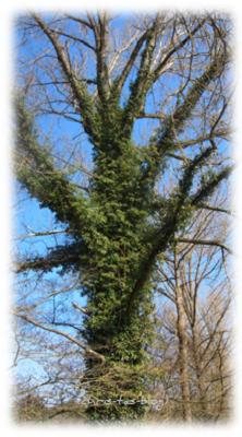 BBaum Baum mit Efeu bewachsen