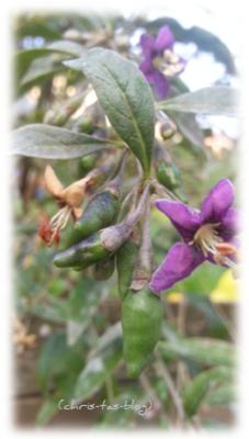 Blüte und grüne Frucht Goji Beere