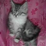Graue Mia auf rosa Sofa