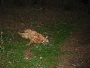 Jacky tobt sich auf dem Waldboden aus