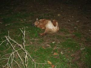 Jacky wälzt sich auf dem Waldboden