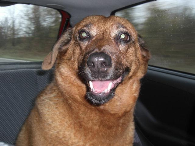 Unsere Hündin Jacky im Auto