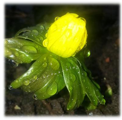 Die erste Frühlingsblume im Garten