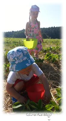 Erdbeeren vom Erdbeerfeld Stübach