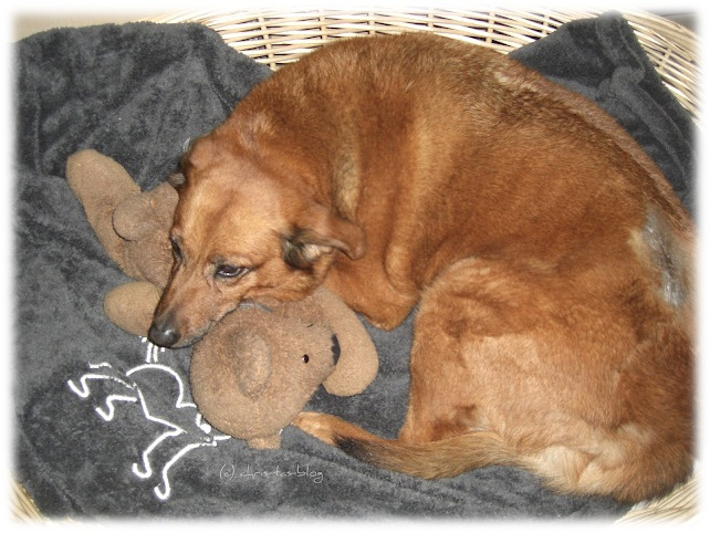 Jacky kuschelt in ihrem Körbchen auf der Luxusköter-Decke