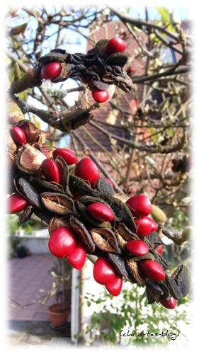 Fruchtkapsel Samen Magnolie