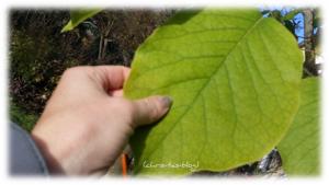 Große Blätter an der Magnolie