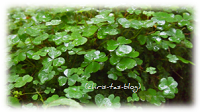 Kleeblätter im Wald