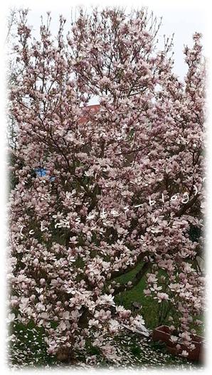 Magnolienbaum7