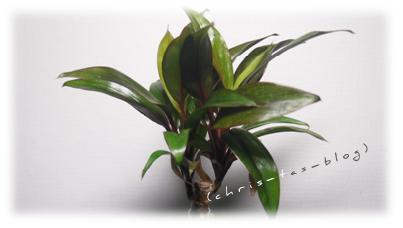 Meine Pflanze im Kibonu-Kultbäumchen