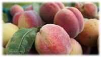 Pfirsiche geerntet