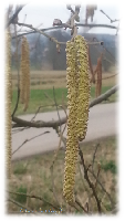 Pollenflug hat begonnen