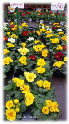 Primeln auf dem Frühlingsmarkt