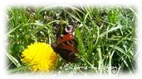Schmetterling auf Löwenzahn