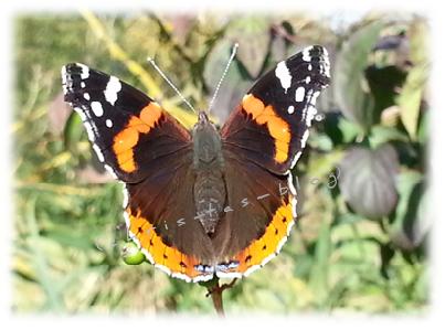 Schmetterling in seiner vollen Pracht