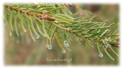 Regentropfen auf Tannenzweig