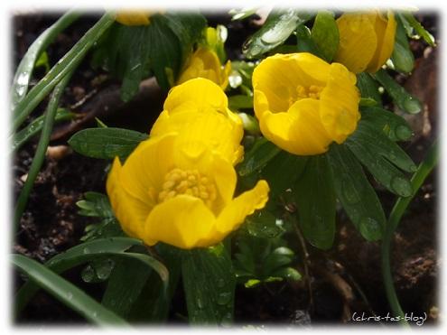 Der Frühling kommt - die ersten Winterlinge
