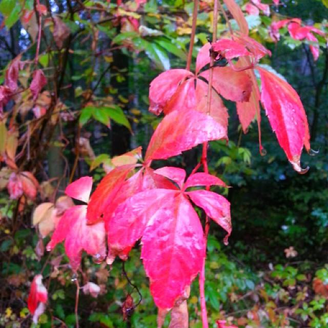 Herbstlaub #instalike#herbstzauber #herbstlaub #autum  #nature #naturephotos #naturepic