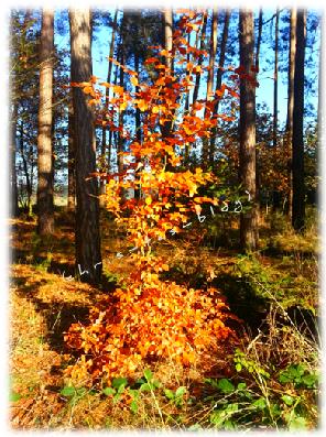 goldfarbenes Laub im November