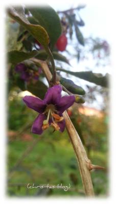 lila Blüte Goji Beere