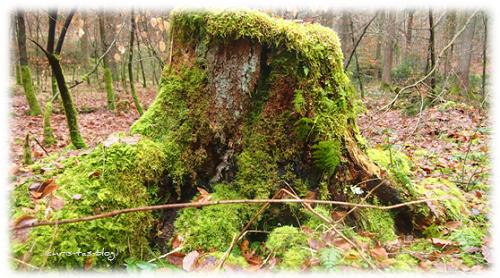 moosbewachsener Baumstumpf