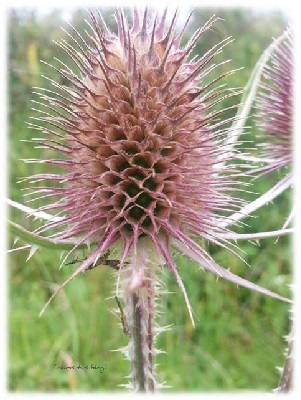 Distel am Wegesrand