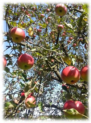 soviele Äpfel an unserem Baum